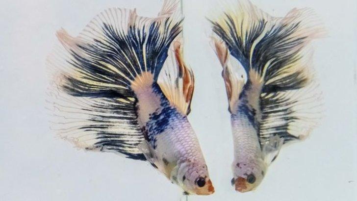 6 Tips Merawat Ikan Cupang Agar Tetap Cantik